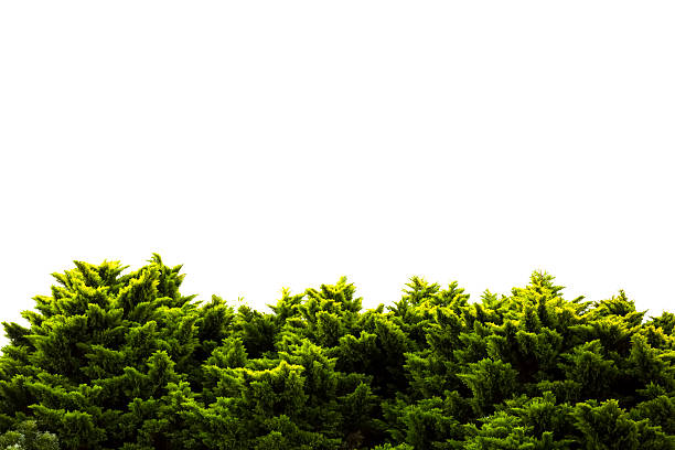 Trees against white background, nature background with copy space stock photo