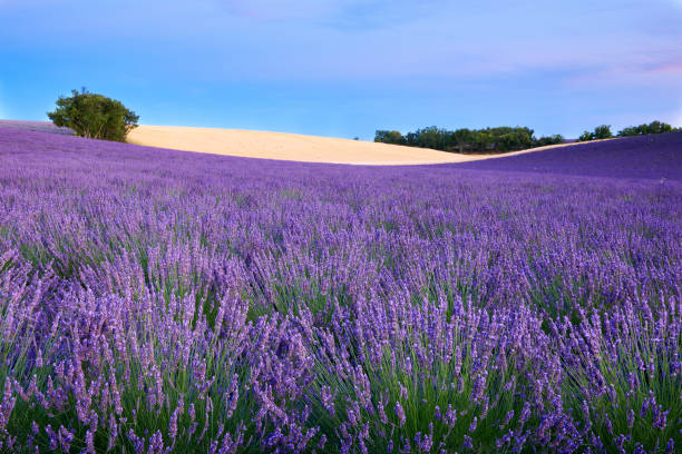 Trees and a lavender field stock photo