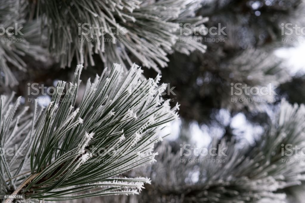 Trees and plants covered by ice and snow needles during winter. photo libre de droits