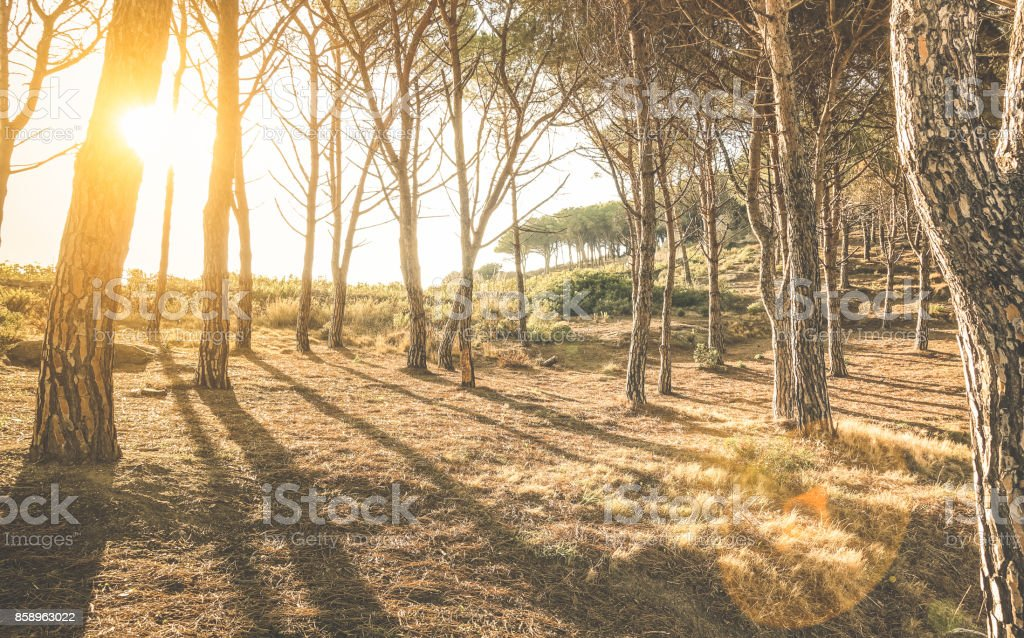 Trees and shadows in woods at sunset by ' Scopeto ' hill in Giglio Island Tuscany - Nature exploration concept on inspiring woodland forest with sunshine halo and sunflare - Warm vintage filter stock photo