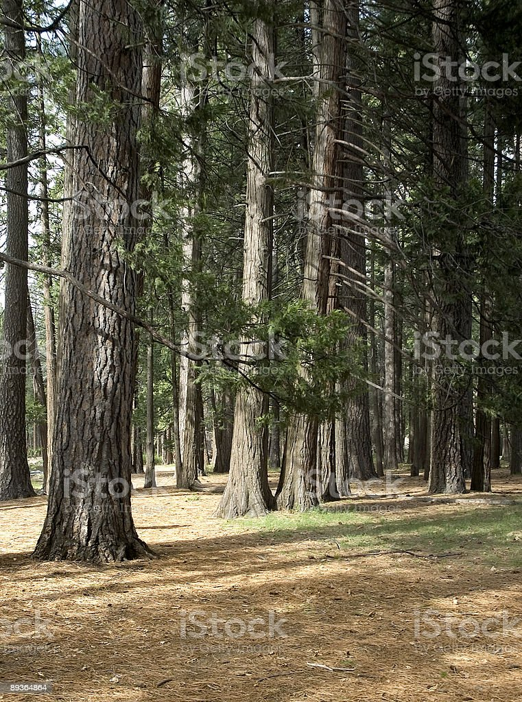 Trees and sun royalty-free stock photo