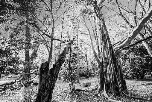 istock Trees and Trunks in Black and White 472203112