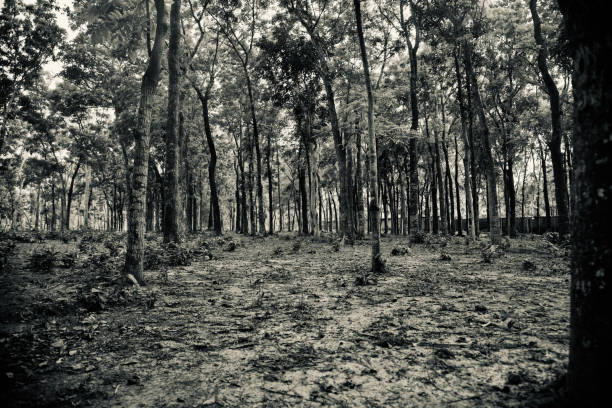 Trees around a forest area black and white photo stock photo