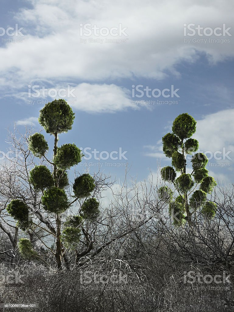 Trees at dusk, low angle view royalty free stockfoto