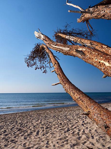 bäume in der ostsee coast nahe prerow - prerow stock-fotos und bilder