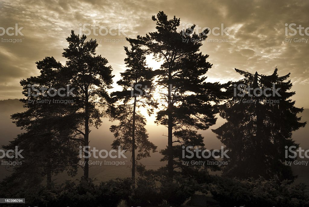 Trees backlit by the rising sun on a misty morning royalty-free stock photo