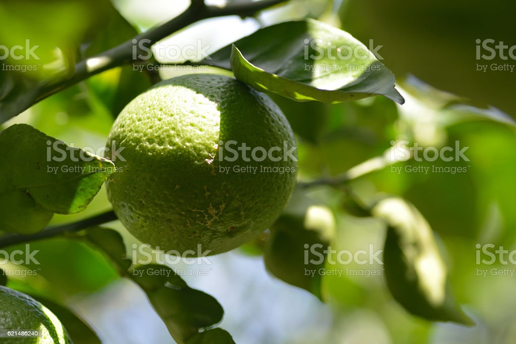 Trees bear type of citrus fruit-Citrus sphaerocarpa. foto stock royalty-free