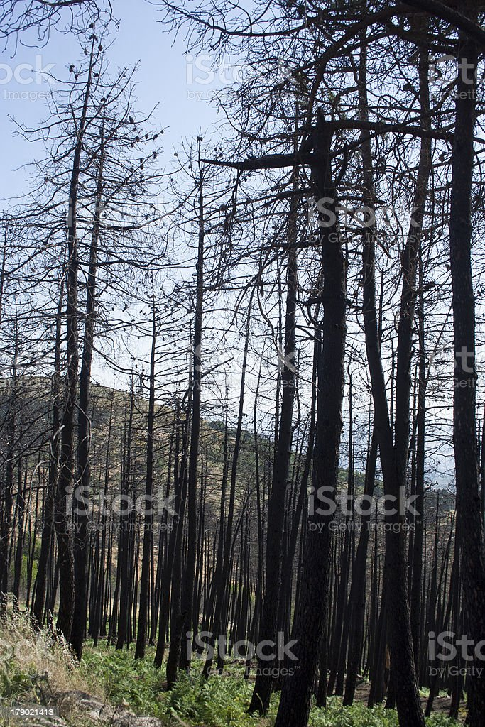 Trees burned in a fire stock photo