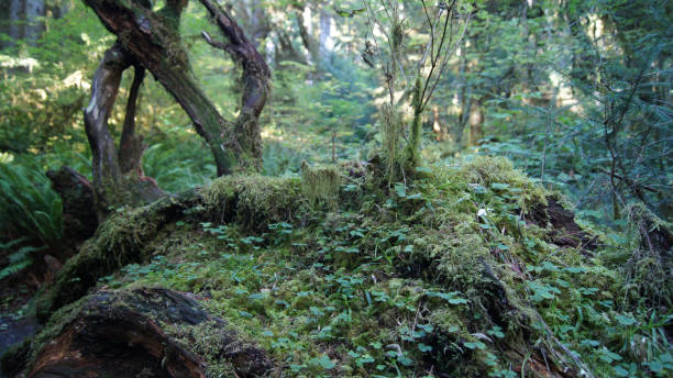 hoh rain forest, olympic national park, washington usa - october 2014: trees coverd with moss - nature reserve stock photos and pictures