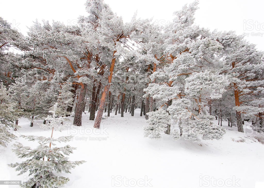 Trees covered by snow and ice crystals stock photo