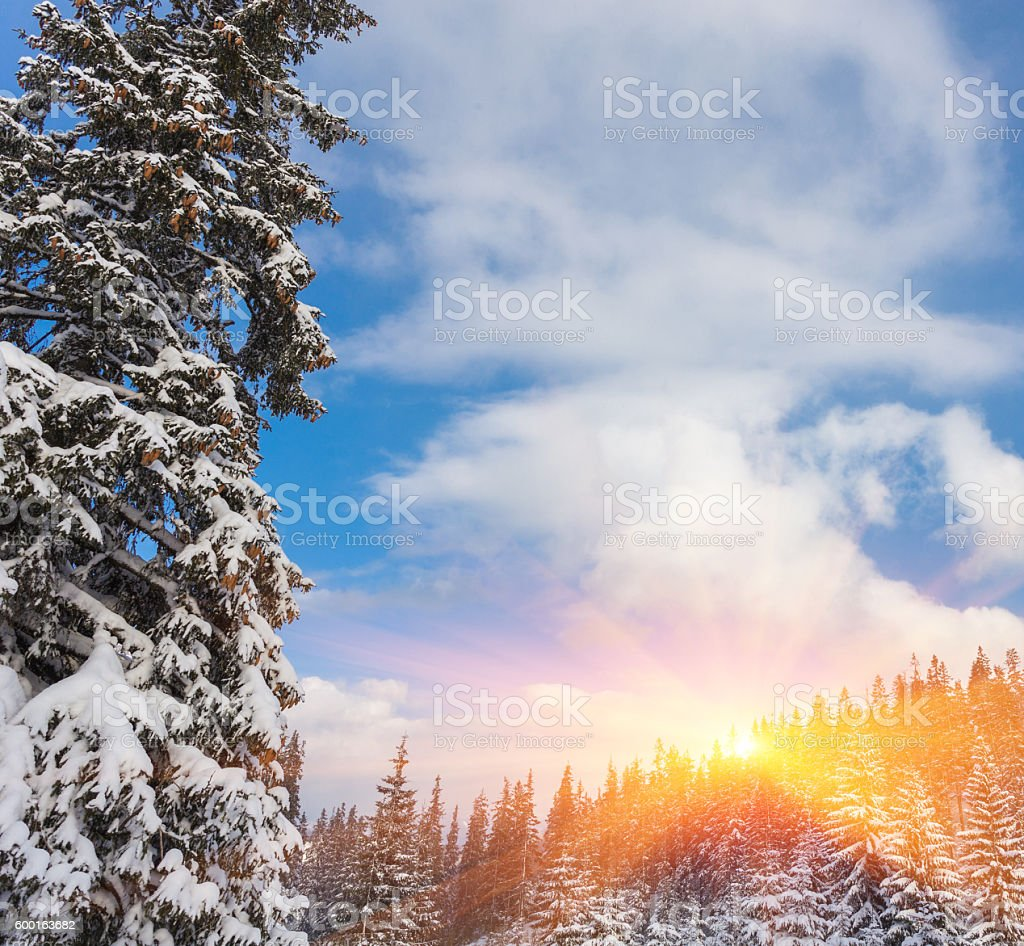 trees covered by snow on mountain hill. stock photo