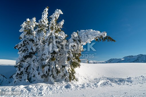 coniferous tree close to ski piste with cones covered in deep snow bending under heavy snow weight high up in winter alpine mountains on sunny day clear blue sky