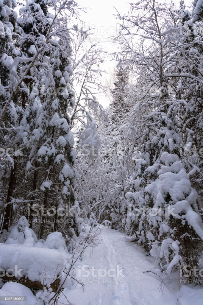 Trees covered with white snow on a cold winter day. стоковое фото