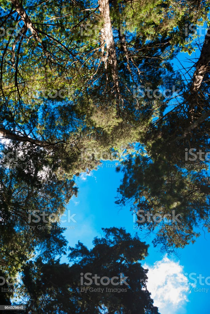 Trees cypress in cloud forest guatemala, oxygen and natural reserve alta verapaz. stock photo