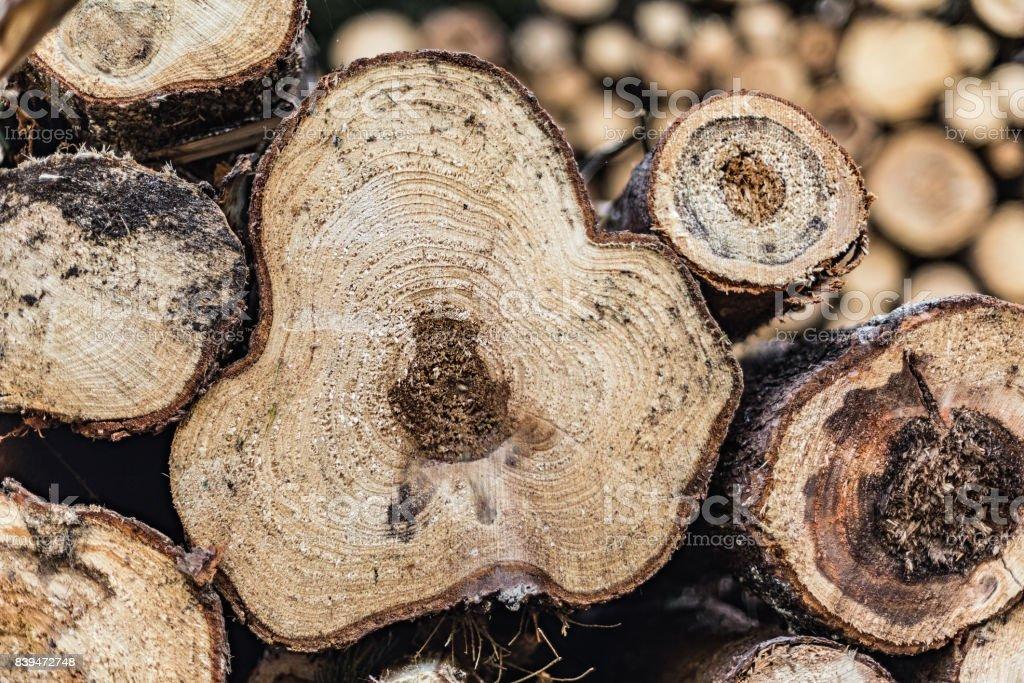 Trees, felled, diseased wood. Cut down diseased oak trees in the forest, stock photo
