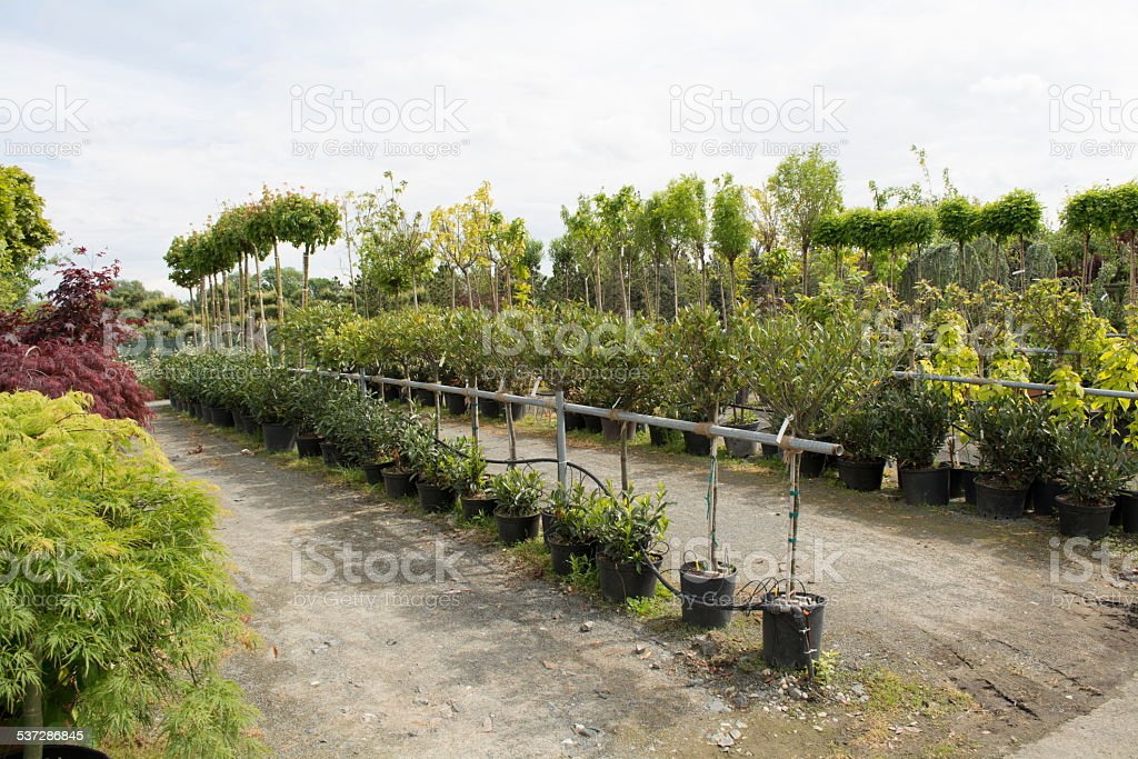 Trees for sale in a row, in pots Trees for sale in a row, in pots, labeling machine for sale, farmers' markets, selling plants 2015 Stock Photo