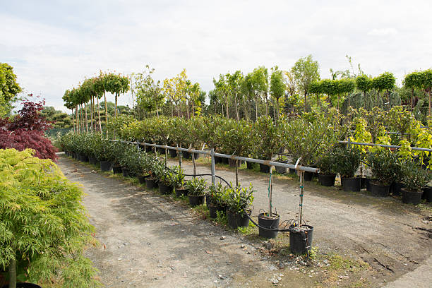 Trees for sale in a row, in pots Trees for sale in a row, in pots, labeling machine for sale, farmers' markets, selling plants aggrandize stock pictures, royalty-free photos & images