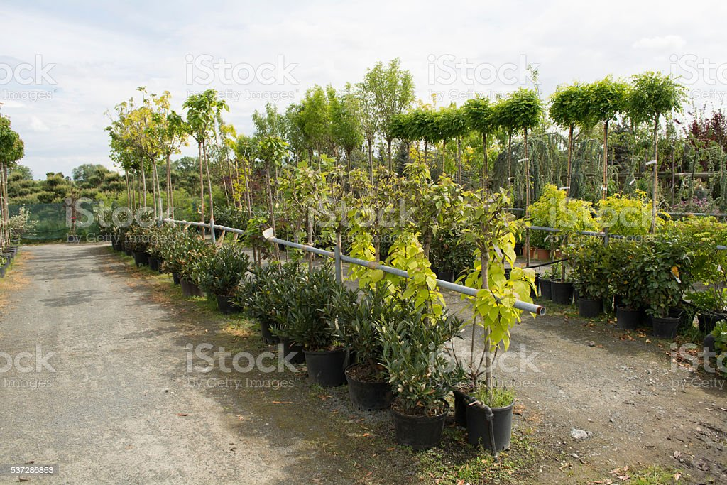 Trees for sale in a row, in pots stock photo