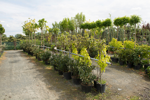 Trees For Sale In A Row In Pots Stock Photo - Download Image Now