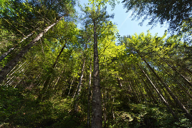 trees from down in a forest stock photo
