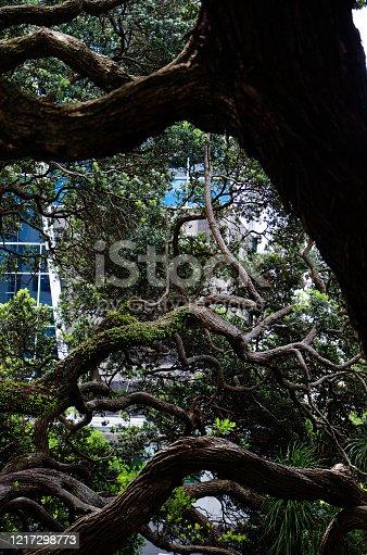 Dark trees growing across walking path in auckland park