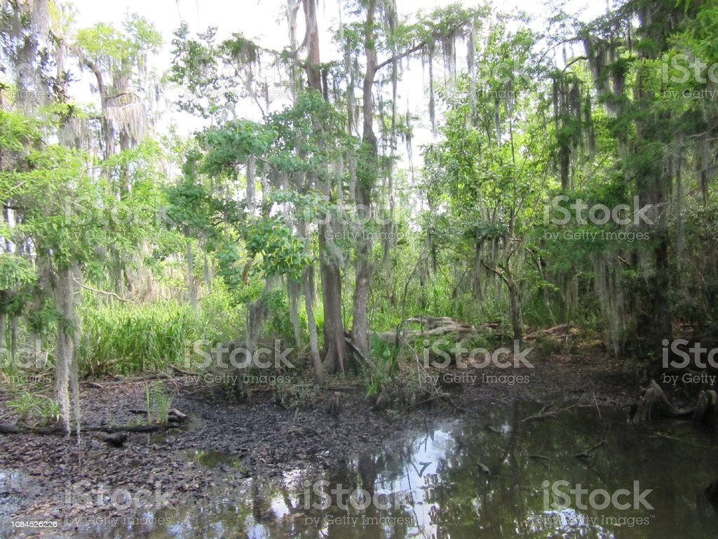 Trees in a Mississippi Swamp stock photo