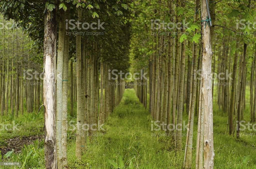 Trees in a row stock photo