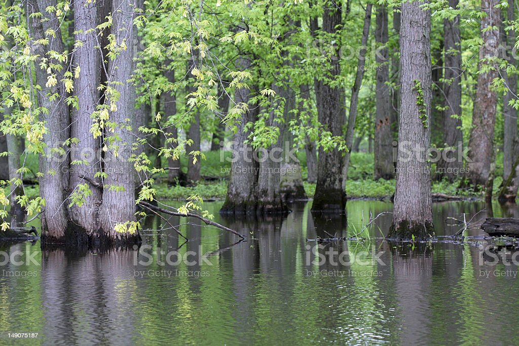 Trees in a Swamp A wooded area of trees growing in a swampy river. Bog Stock Photo