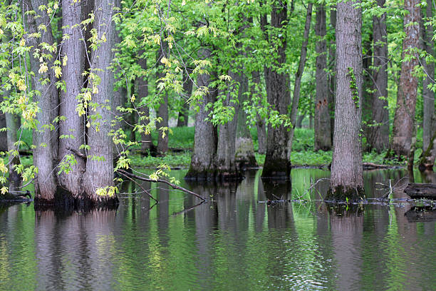 Trees in a Swamp stock photo