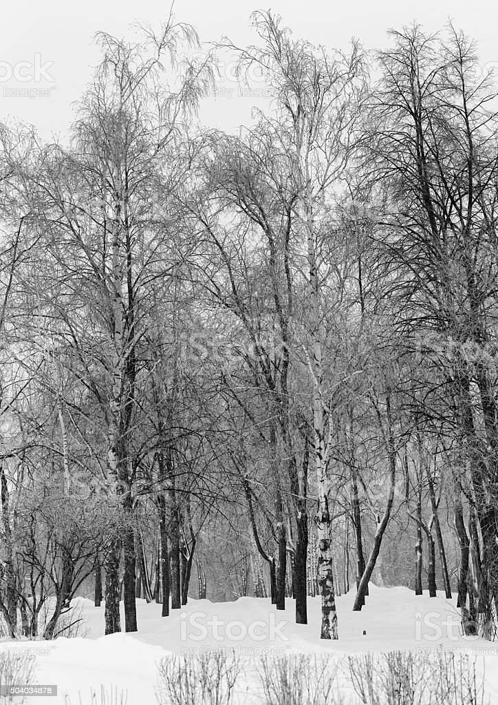 Trees in a winter snow-covered park stock photo