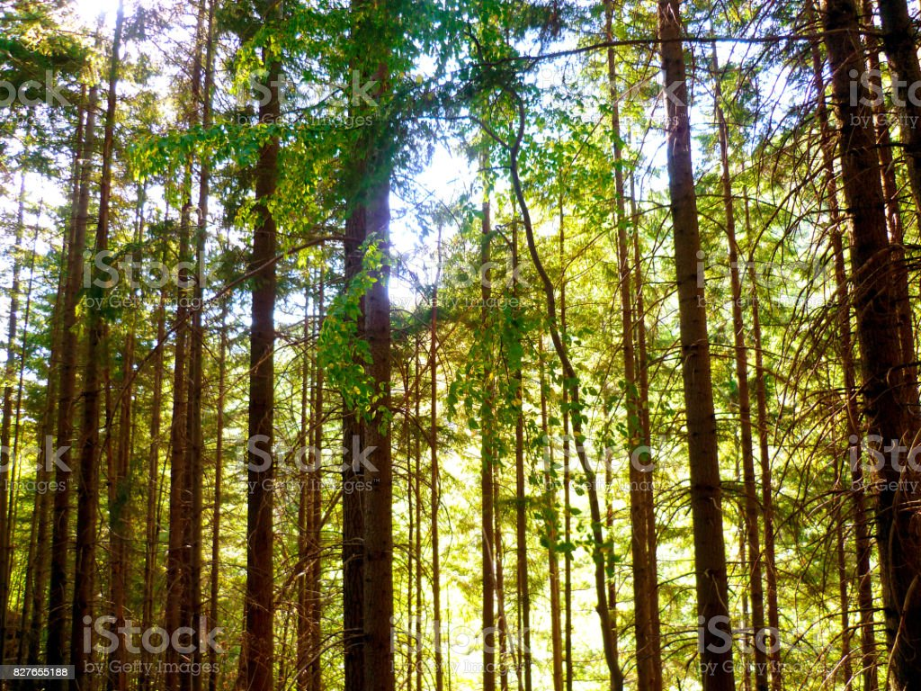 Trees in a wood, horizontal abstract background stock photo