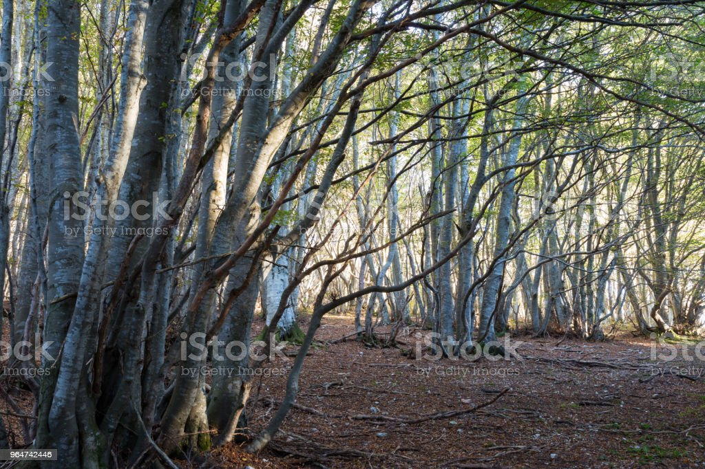 Trees in a wood with low sun filtering through and  warm fall co royalty-free stock photo