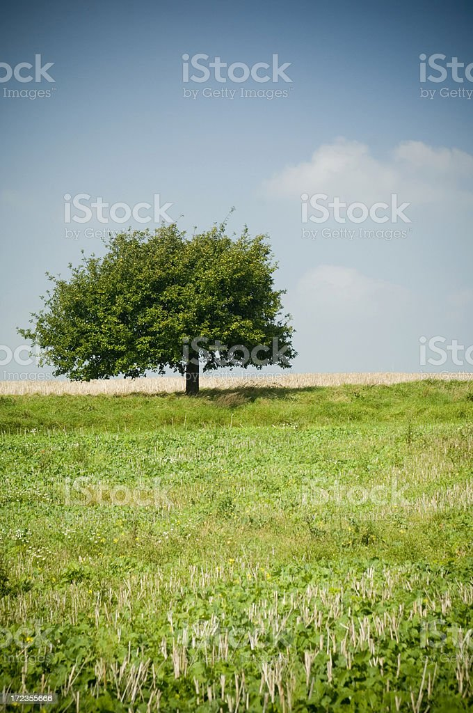 Trees in august royalty-free stock photo