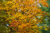 Yellow foliage of autumn trees against the blue sky. Fall season, natural background, landscape