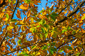 Trees in autumn colors in a forest in bright sunlight at fall, Baarn, Lage Vuursche, Utrecht, The Netherlands, October 23, 2020