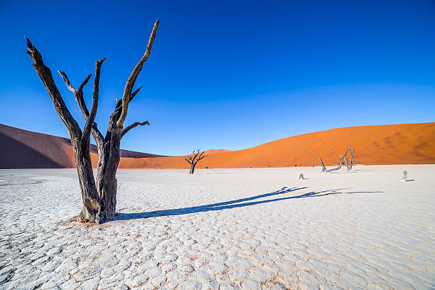 Trees in Deadvlei, or Dead Vlei, in Sossusvlei, Namibia Trees in Deadvlei, or Dead Vlei, a white clay pan located near the more famous salt pan of Sossusvlei, inside the Namib-Naukluft Park in Namibia namib desert stock pictures, royalty-free photos & images