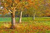 Trees in fall colors in a green grassy field in sunlight in autumn