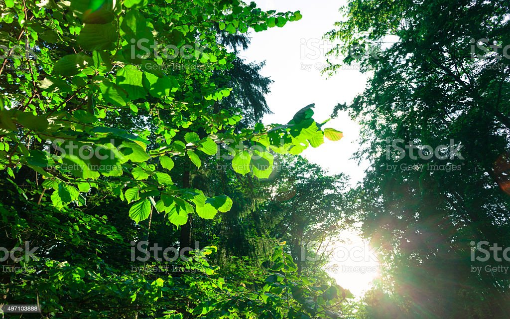 Trees in fores and sunlight stock photo