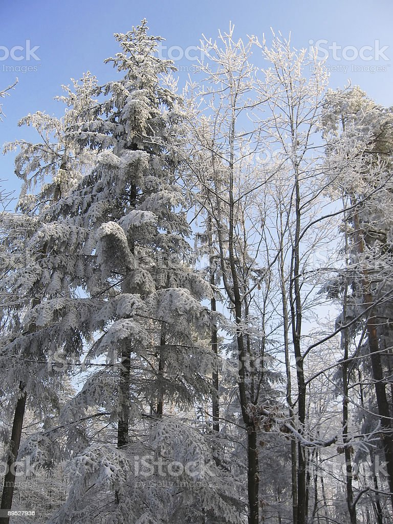trees in frost royalty-free stock photo