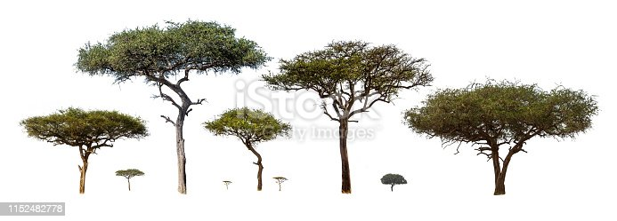 Collection of isolated African Acacia trees extracted and isolated on white background for compositing