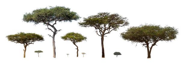 Trees in Grasslands of Kenya Africa stock photo
