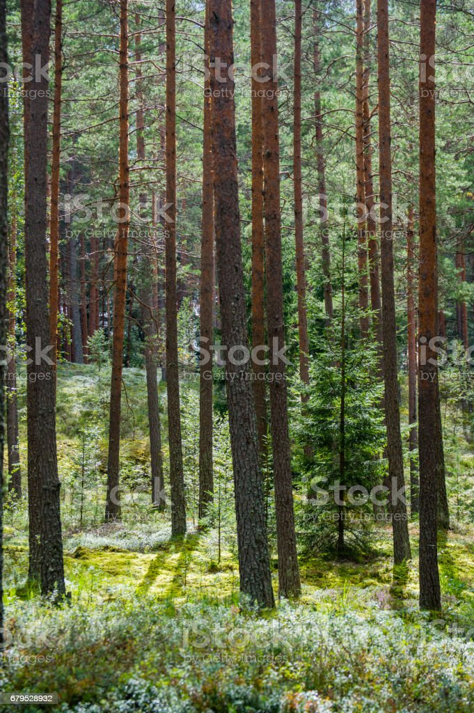 trees in green forest with moss and autumn colors royalty-free stock photo
