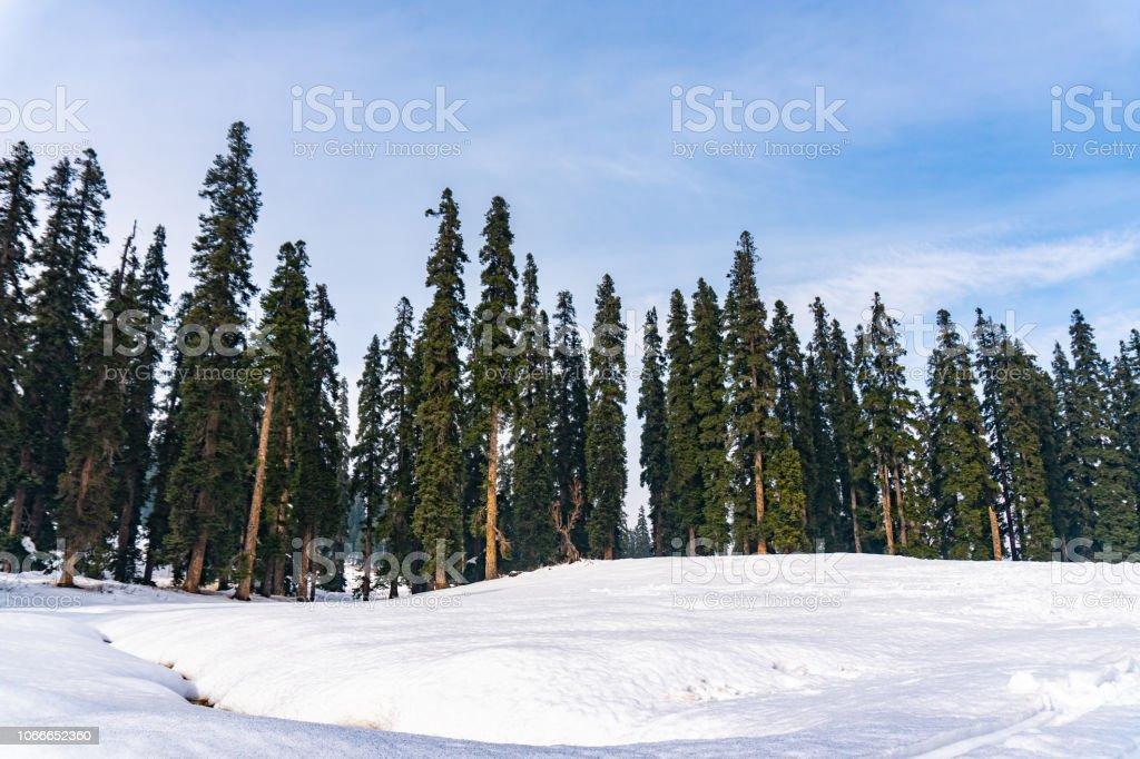 Trees in Gulmarg stock photo