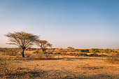 Desert trees in plains of africa under clear sky and dry floor with no water