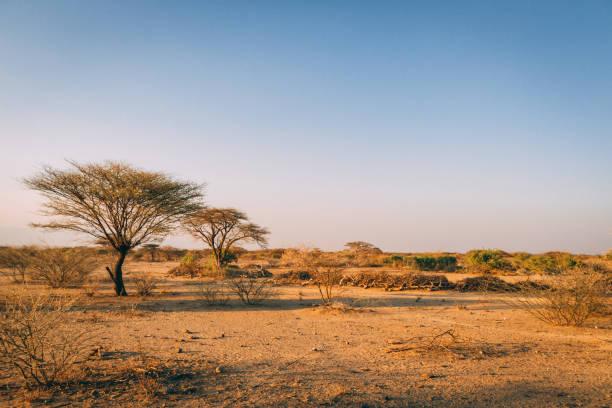 非洲平原上的樹木 - 平原 個照片及圖片檔