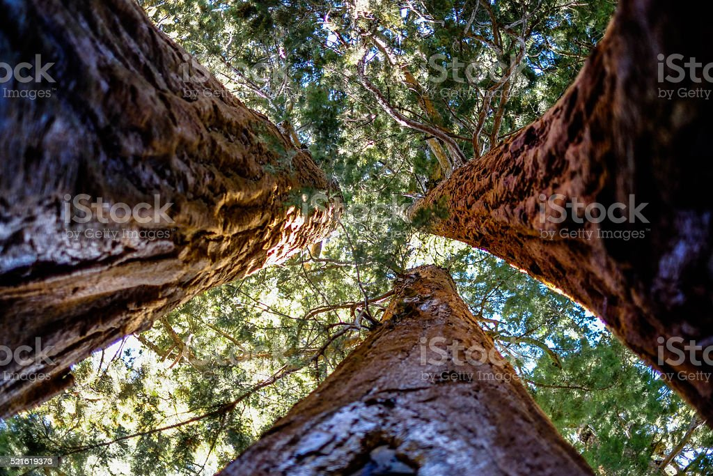Trees in Sequioa National Park stock photo