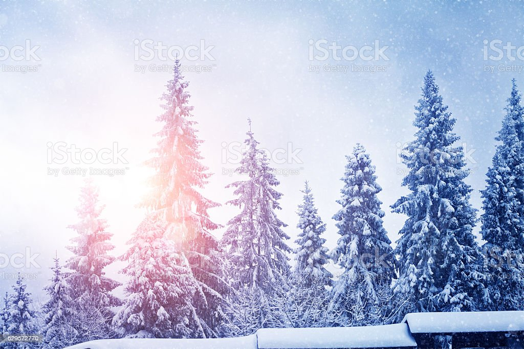 Trees in snow and sun light stock photo