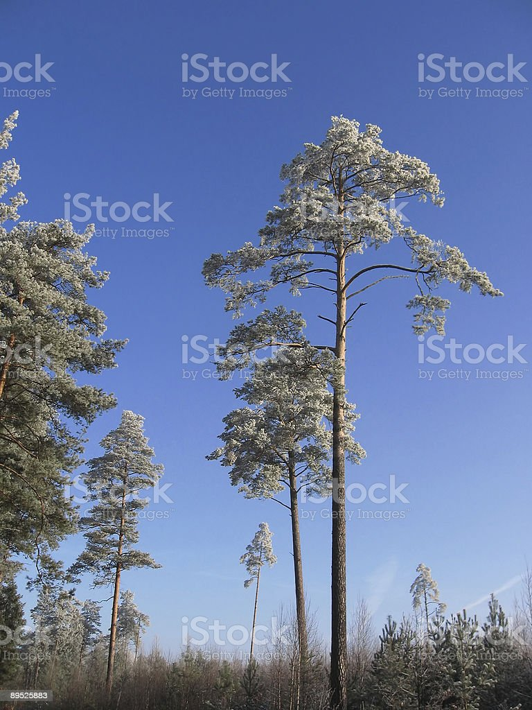 trees in snow royalty-free stock photo