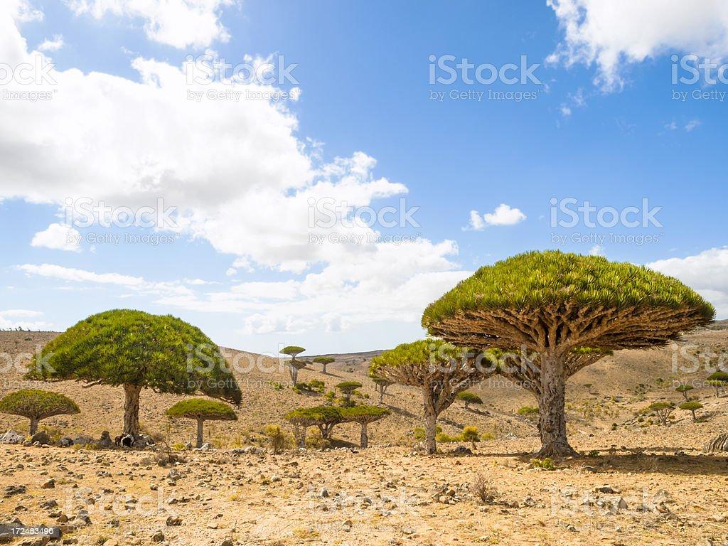 Trees in Socotra royalty-free stock photo