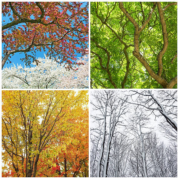 trees in spring, summer, autumn and winter - four seasons 個照片及圖片檔